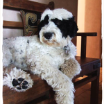 Portuguese Water Dog, Pet Painting of Oakley